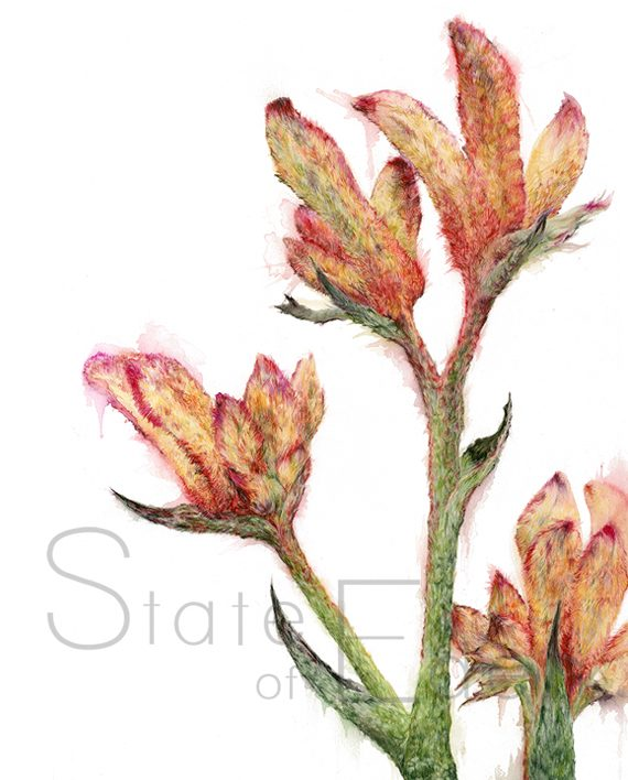 Kangaroo Paw artwork watermarked state of eden