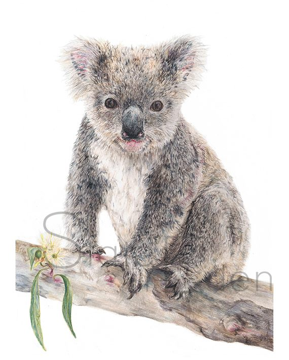 Koala print art wall watermarked pencil drawing