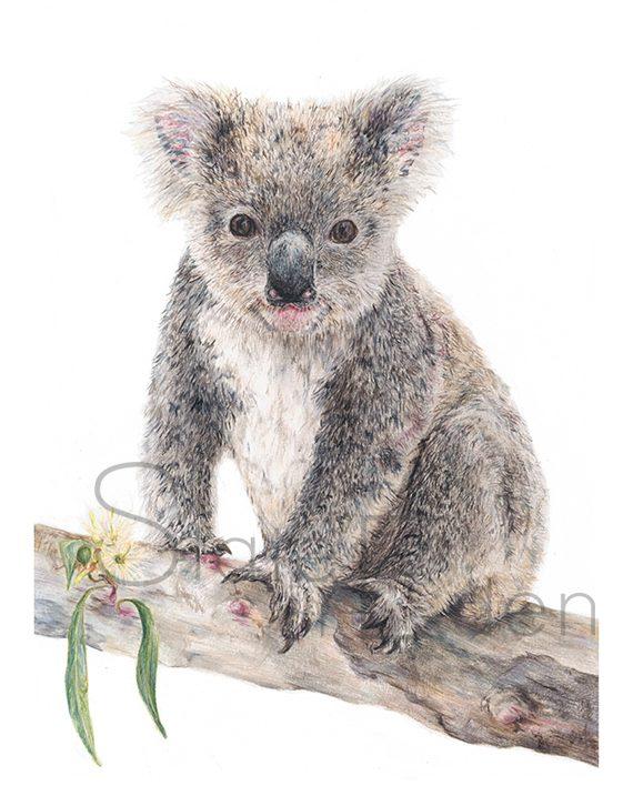 Koala print art wall watermarked pencil drawing